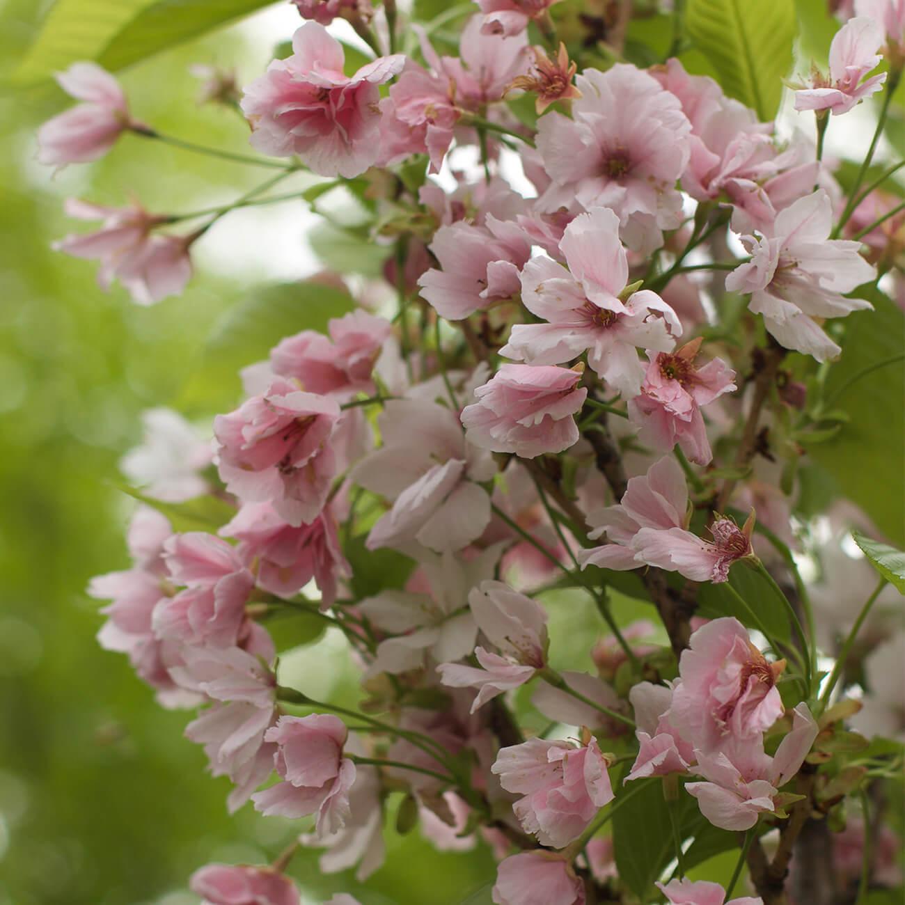 Sakura blossom Budapest